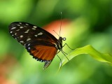 Tiger Longwing (Heliconius hecale)