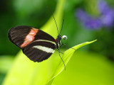 Postman butterfly (Heliconius melpomeme)