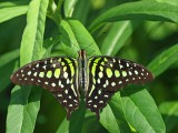 Tailed Jay/Green Triangle (Graphium agamemnon)