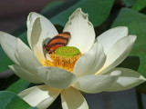 White Lotus & friend