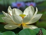 White Lotus & friends