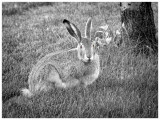 Prairie Hare (Jackrabbit)