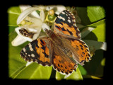 Arizona Butterflies and Bees