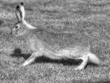 Hare poised for take-off
