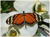 Tiger Longwing on Orchid
