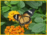 Leopard Lacewing on Lantana