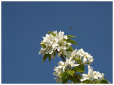 Spring Blossums & Bee
