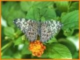 Gray Cracker Butterfly