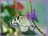 Paper Kite Butterfly - feeding (Idea leuconoe)