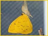 Yellow-Barred Sulphur - just emerged
