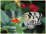Paper Kite Butterfly - (Idea leuconoe)