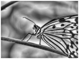 Paper Kite Butterfly - (Infrared pp)