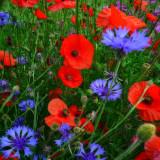 Poppies 33