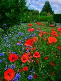 Poppies 35