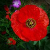 Poppies 36