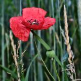 Poppies 39