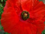 Poppies 40