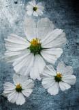 Dreamy daisies