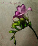 Pinkish Freesia