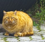 The ginger cat of Marchissy