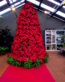 Don't buy too many plants of poinsettia at Christmas…