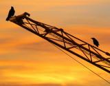 Cranes and crows....