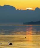 A morning swan,,,,