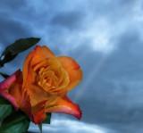 Mystic rose...