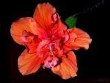 Flashy Hibiscus