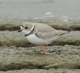 Piping Plovers, 20 Apr 11, Old Hickory Lake, Nashville, TN