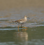 Reeve (female Ruff)