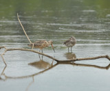 Hudsonian and Marbled Godwit