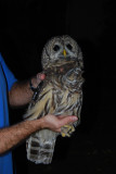 Barred Owl, 12 Oct 2011, Nashville