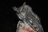 Eastern Screech Owl (gray phase), 12 Oct 2011, Nashville