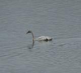Tundra Swan, Parksville Lake, Polk Co., TN