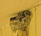 Barn Swallow chicks, Shelby Forest SP, 16 May 12
