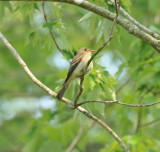 Eastern Wood Pewee, Shelby Forest SP, 16 May 12