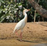 Cattle Egret, high breeding plumage, Woods Reservoir, 25 May 12