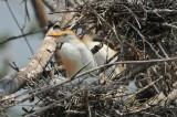 Cattle Egret, Woods Reservoir, 25 May 12