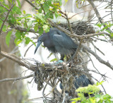 Little Blue Heron with eggs, Woods Reservoir, 25 May 12
