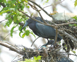 Little Blue Heron, Woods Reservoir, 25 May 12