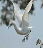 Little Blue Heron, second year bird, Woods Reservoir, 25 May 12