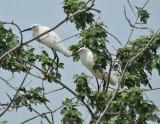 Snowy Egret pair (high breeding plumage), Woods Reservoir, 25 May 12