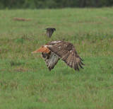 Red-tailed Hawk with Eastern Kingbird attacking