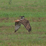 Red-tailed Hawk with Eastern Kingbird along for the ride