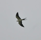 Swallow-tailed Kite (1 of 5 birds), Bledsoe Co., TN, 3 Aug 12
