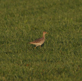 Upland Sandpiper (1 of 3), Coffee Co. Sod Farm, Coffee Co., TN, 22 Aug 12