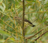 Northern Waterthrush, Duck River Unit, TN NWR, 26 Aug 12