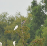 Tricolored Heron, Duck River Unit, TN NWR, 26 Aug 12