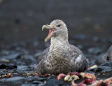 Southern-Giant-Petrel-with-bill-open-IMG_7665-Hannah-Point-Deception-Island-South-Shetland-15-March-2011.jpg